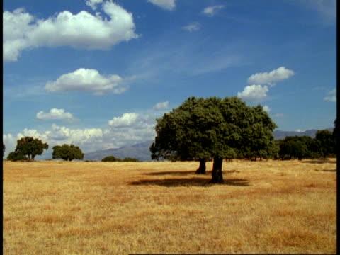 Landscape, Spain - Spanish countryside, evergreen oak trees and ripe golden grass, blue sky, Summer