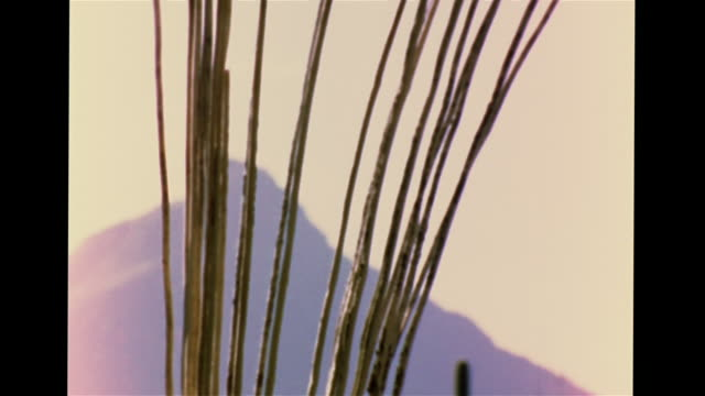 landscape, tree-like saguaro cacti w/ columnar branches, shrubs, mountains, dead cactus wood skeleton standing upright. pb, light spots, plants,... - sonoran desert stock videos & royalty-free footage