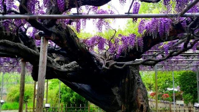 vidéos et rushes de landscape view of the great wisteria blooming at ashikaga, tochigi prefecture, japan - séquoia géant