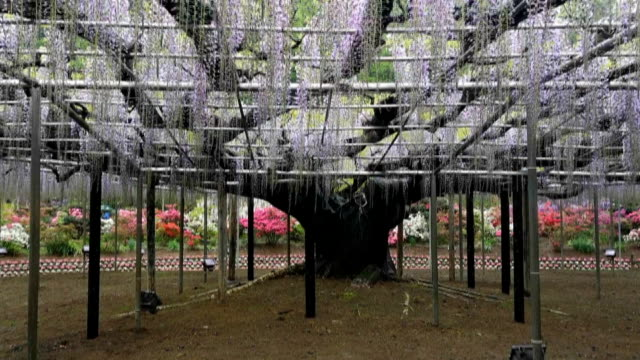 vídeos y material grabado en eventos de stock de landscape view of the great wisteria blooming at ashikaga, tochigi prefecture, japan - secoya gigante
