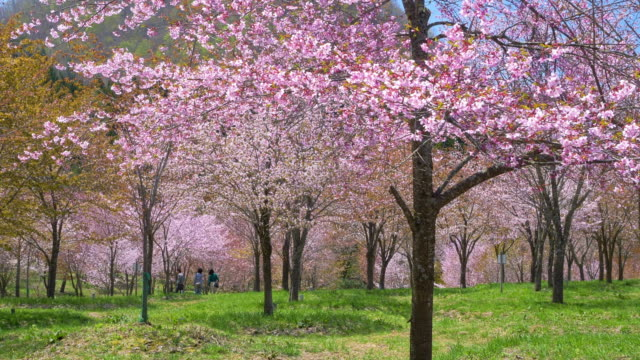 vidéos et rushes de ws ds slo mo landscape with blossoming cherries, fukushima prefecture, japan - printemps