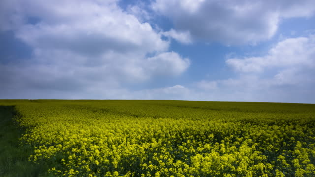 landscape with canola - time lapse - rapeseed oil stock videos and b-roll footage