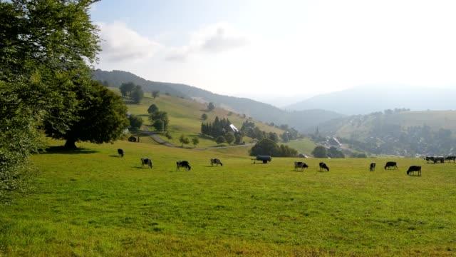 landscape with cow herd, mount schauinsland, freiburg im breisgau, black forest, baden-württemberg, germany - black forest stock videos & royalty-free footage