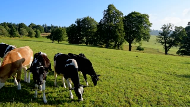 landscape with cow herd, mount schauinsland, freiburg im breisgau, black forest, baden-württemberg, germany - baden wurttemberg stock videos and b-roll footage