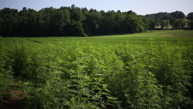 landscape with field of hemp burkesville kentucky us on thursday july 25 2019 - canapa video stock e b–roll
