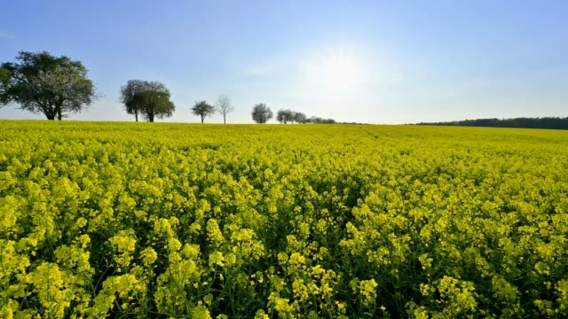 landscape with rape field and sun, neudorf, amorbach, odenwald, bavaria, germany - oilseed rape stock videos & royalty-free footage
