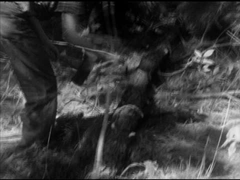 laneburg h.s. students felling, cutting down, pine trees, students carrying thin cut trees, logs off forest path. arkansas, ar, nevada county - 木材産業点の映像素材/bロール