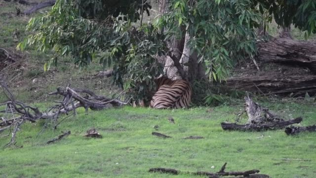 langdi tigress sitting in a shade close to a waterhole on a hot summer day - safari india stock videos and b-roll footage
