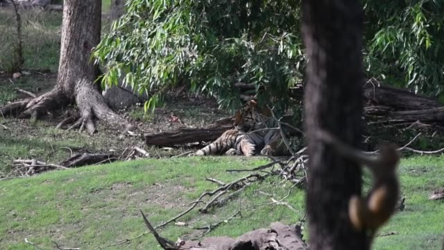 langdi tigress sitting under a shade of tree inside pench tiger reserve during a hot summer day - safari india stock videos and b-roll footage