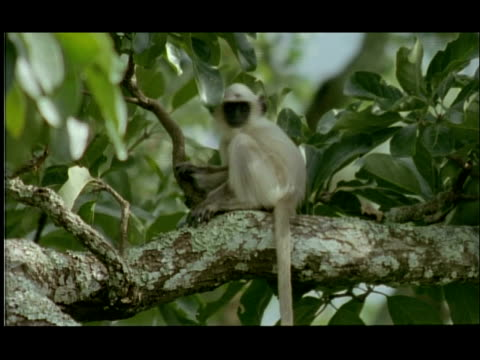 langur monkey baby sitting on bough of tree, bandipur, nagarahole, india - restlessness stock videos and b-roll footage