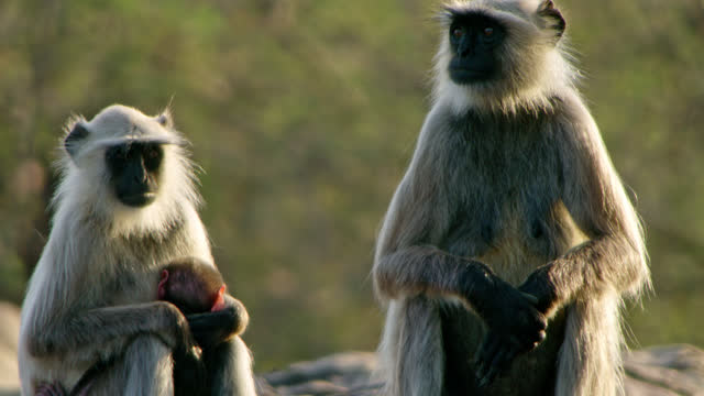 langur monkey holding its baby in rock area - two animals stock videos & royalty-free footage