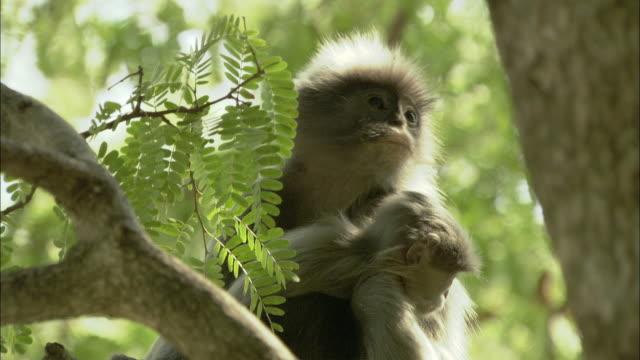 vídeos de stock e filmes b-roll de cu langur with young on tree, thailand - thailand