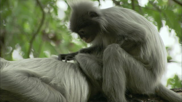 cu langurs grooming in tree, thailand - three quarter length stock videos & royalty-free footage