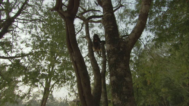 WS LA CS Langurs in tree, Thailand