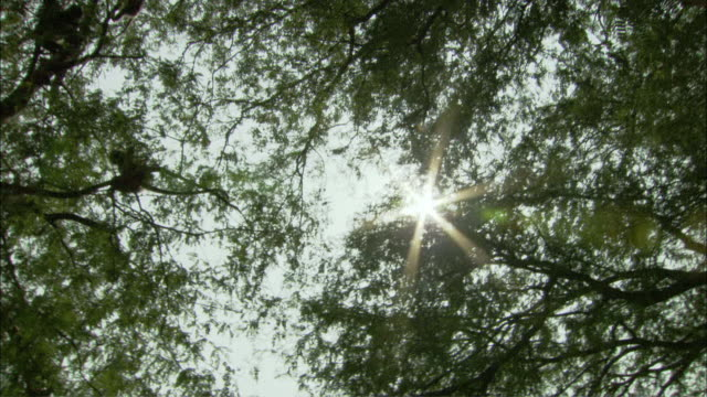 vídeos y material grabado en eventos de stock de ws la pan langurs in tree-tops under sunny sky, thailand - tope de los árboles