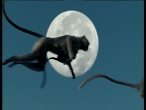 Langurs leap across full moon in pale sky, Jodhpur