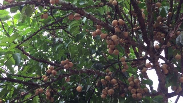 lansium parasiticum fruits on tree - tropical tree stock videos & royalty-free footage