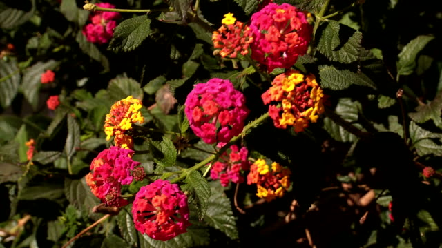 lantana camera shrub - temperate flower stock videos and b-roll footage