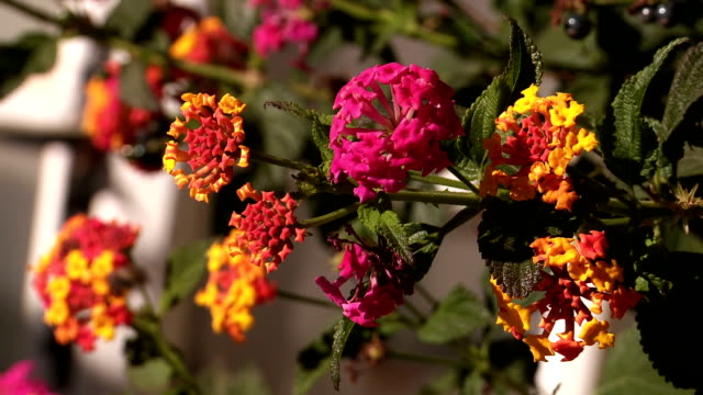 lantana camera - temperate flower stock videos and b-roll footage