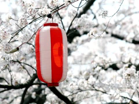 vidéos et rushes de pal: lanterne flânez dans le vent contre japonais sakura (vidéo - arbre à feuilles caduques