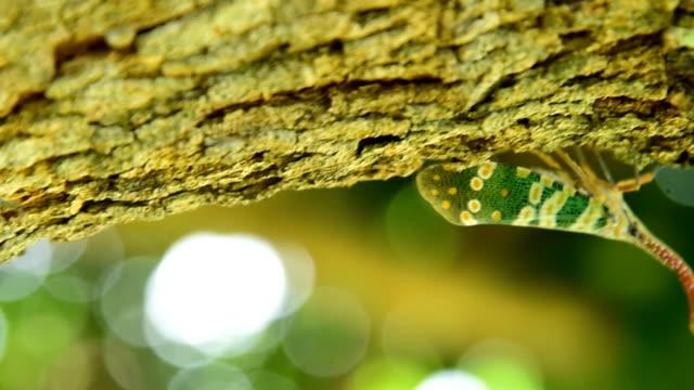 vídeos de stock e filmes b-roll de lantern fly insect - lichia