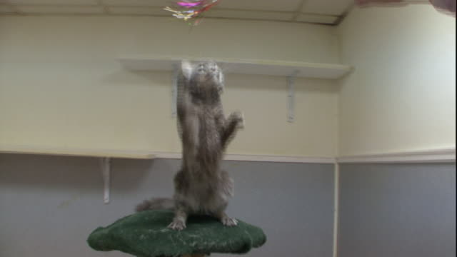 a laperm cat standing on a cat tree, plays with a toy on a string. - dehnen stock-videos und b-roll-filmmaterial