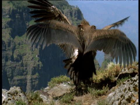 vídeos de stock, filmes e b-roll de lappet faced vultures fight and squabble, ethiopia - parte do corpo animal