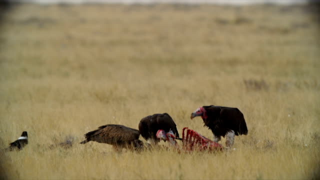 MS Lappet-faced Vulture; Cape Vulture and Pied Crow feeding on carrion / Namibia