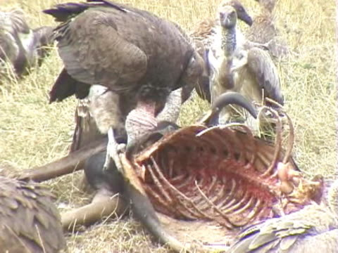 MS Lappet-faced vulture feeding on carcass