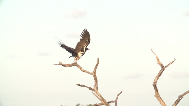 Lappet-faced vulture takes off from dead branch and soars upward, Kruger National Park, South Africa