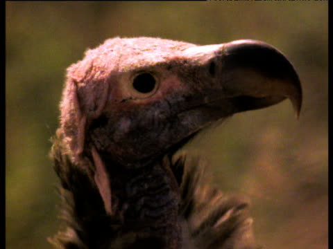 lappet-faced vulture's bald head, ugly, africa - ugliness stock videos & royalty-free footage
