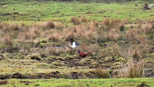 lapwing (vanellus vanellus) attacking pheasant (phasianus colchicus) - pasture stock videos & royalty-free footage
