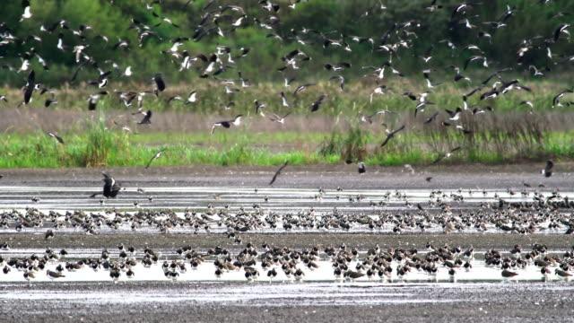 Lapwing flock