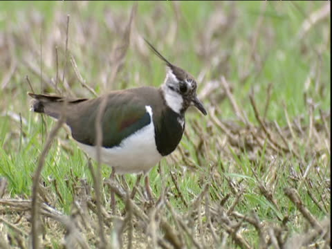 lapwing forages and calls in field - animal's crest stock videos and b-roll footage