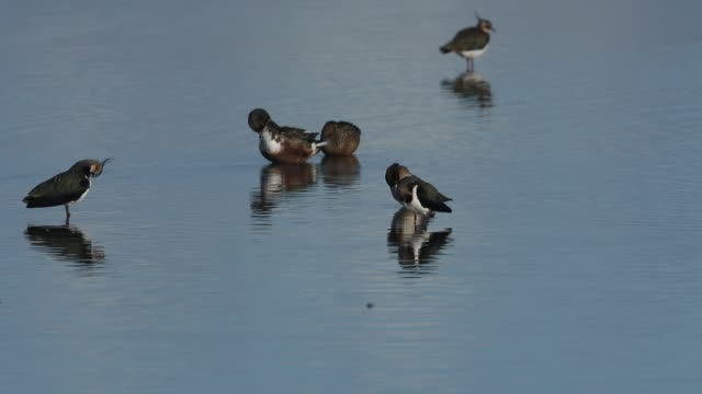 lapwings, vanellus vanellus, a teal duck, anas crecca, and a shoveler duck, anas clypeata, preening at the edge of a freshwater lake, on the norfolk, coast. - teal stock videos & royalty-free footage