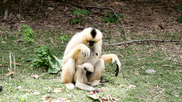 Lar Gibbon Baby and mother