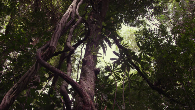 Lar gibbon (Hylobates lar) climbs tree in forest, Thailand