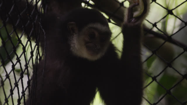 Lar gibbon (Hylobates lar) eats fruit in forest sanctuary, Thailand