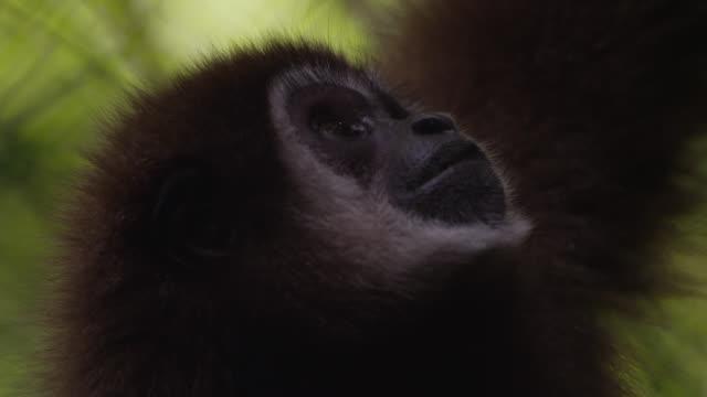 Lar gibbon (Hylobates lar) looks around in forest sanctuary, Thailand