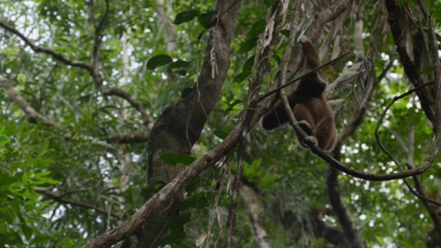 lar gibbon (hylobates lar) swings from tree in forest, thailand - swinging stock videos and b-roll footage