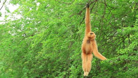 lar gibbon - animals in captivity stock videos & royalty-free footage