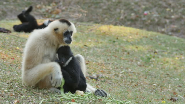 Lar Gibbon with it's cub.