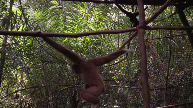 Lar gibbons (Hylobates lar) in forest sanctuary, Thailand
