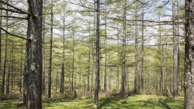 vídeos y material grabado en eventos de stock de larch trees in fresh green - pinaceae