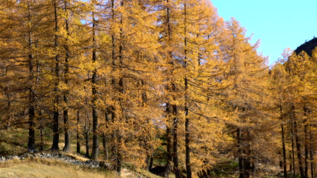 larches forest in autumn - einzelne frau über 30 stock-videos und b-roll-filmmaterial