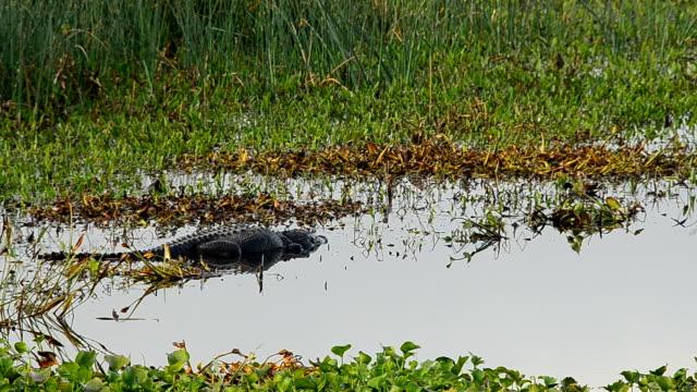 stockvideo's en b-roll-footage met grote alligator rusten in ondiepe wader, met vergeetachtig coots rond - koet