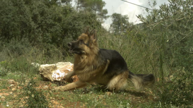 slo mo large alsatian (canis lupus familiaris) chasing past chickens (gallus gallus), spain - super slow motion stock videos & royalty-free footage