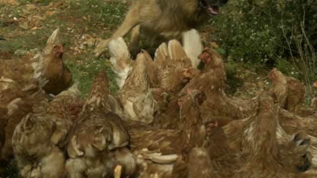 slo mo large alsatian (canis lupus familiaris) runs towards chickens (gallus gallus), spain - runaway stock videos & royalty-free footage
