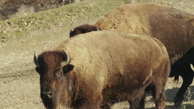 vídeos y material grabado en eventos de stock de large american bison bull or buffalo looks toward camera. - cuatro animales