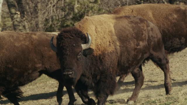 vídeos y material grabado en eventos de stock de large american bison bull or buffalo walks toward camera. - grupo pequeño de animales